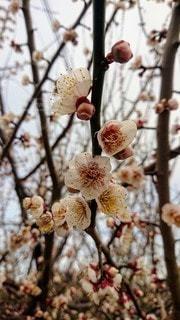 梅の写真・画像素材[2931505]