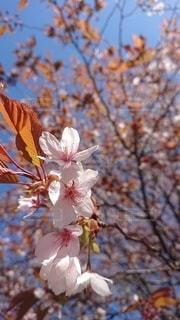 木の枝に咲くピンクの花のグループの写真・画像素材[3051981]