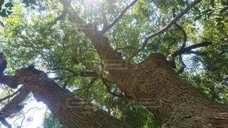 大きな木の写真・画像素材[3051982]