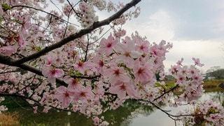 木にピンクの花で満たされた花瓶の写真・画像素材[3052949]