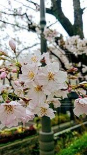 桜の写真・画像素材[3065147]
