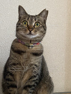 カメラを見ている猫の写真・画像素材[4217075]