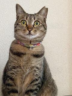 カメラを見ている猫の写真・画像素材[4439769]