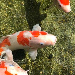 鯉の写真・画像素材[2622813]