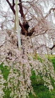 桜の近くでの写真・画像素材[2686606]