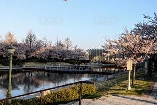 公園の桜並木の写真・画像素材[3093400]