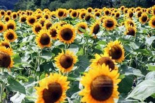 ひまわり畑のクローズアップの写真・画像素材[3557001]