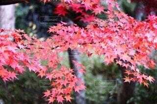 もみじの美しい紅葉の写真・画像素材[3904372]