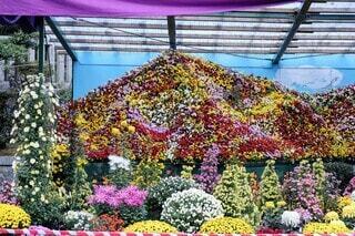 弥彦神社の菊祭りの写真・画像素材[3904437]