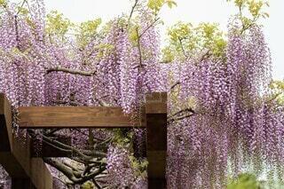 藤の花のクローズアップの写真・画像素材[4394272]