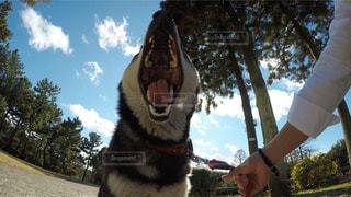 愛犬の大欠伸の写真・画像素材[2602780]