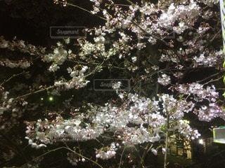 桜の写真・画像素材[116041]