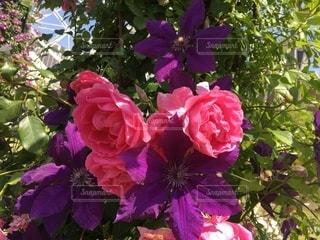薔薇の写真・画像素材[2655524]
