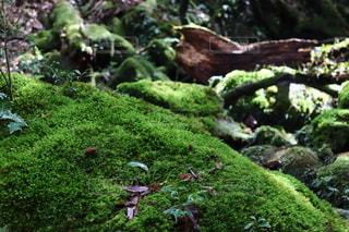 苔むす森1の写真・画像素材[2606128]