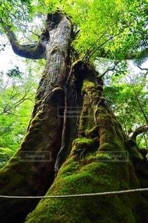 白谷雲水峡の主。屋久杉。の写真・画像素材[2607234]