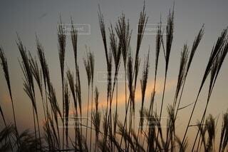 夕暮れとススキの写真・画像素材[3812422]