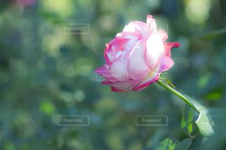 ピンクの縁取りのバラの写真・画像素材[2609158]