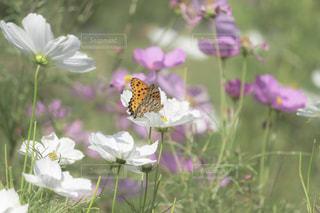白いコスモスと蝶の写真・画像素材[2609632]