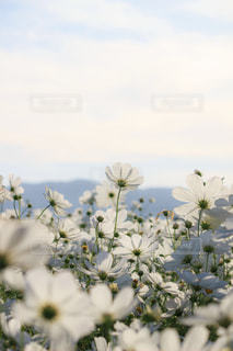 日差しに透ける白いコスモスの写真・画像素材[2622607]