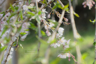 小さな花の桜の写真・画像素材[2648046]