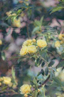 モッコウバラの写真・画像素材[2671240]