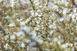 満開の雪柳の写真・画像素材[3029503]