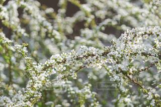 咲き乱れるユキヤナギの写真・画像素材[3029504]