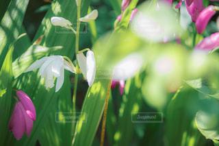 白い紫蘭の写真・画像素材[3197113]