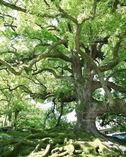 京都 樹木 木の写真・画像素材[2615082]