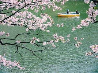 お花見 さくら 桜 春の写真・画像素材[2996448]
