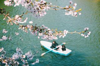 お花見 桜 さくら 春の写真・画像素材[2996542]