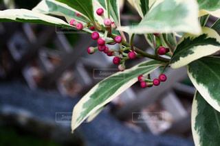 植物の写真・画像素材[663026]