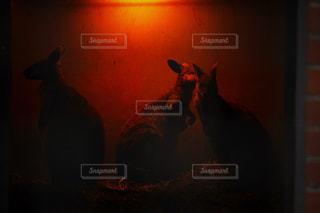 暗闇の中で立っているカンガルー - No.921398