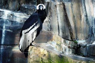 石の壁の横に黒い鳥立っての写真・画像素材[926363]