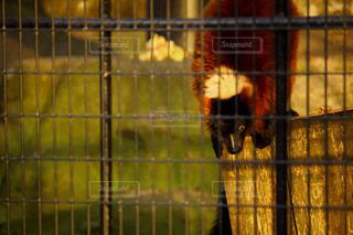 檻の中の猿の写真・画像素材[937621]