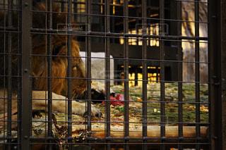 ライオンのお食事タイム - No.938607