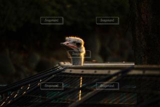 金色の羽毛の写真・画像素材[939541]