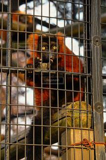 檻の中の猿の写真・画像素材[941789]