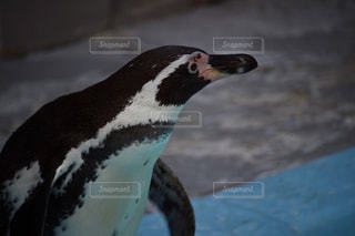 ペンギンのアップの写真・画像素材[955015]