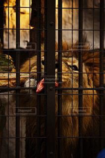 ライオンのお食事タイム - No.957261