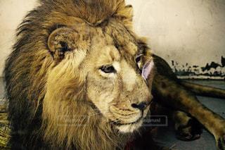 ライオンのアップの写真・画像素材[980238]