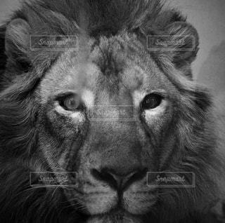 カメラを見てライオンの写真・画像素材[980242]