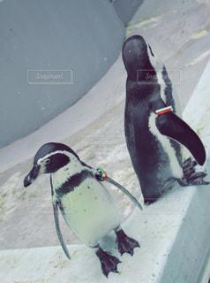 ペンギン - No.980515