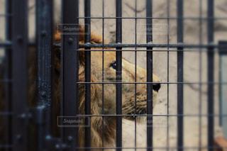 横顔ライオンの写真・画像素材[981819]