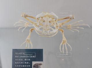 ウシガエルの骨格標本の写真・画像素材[982475]