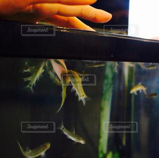 角質を食べる魚の写真・画像素材[984436]