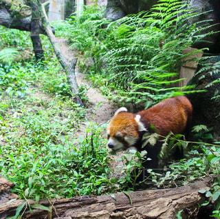 森を歩くレッサーパンダの写真・画像素材[985989]