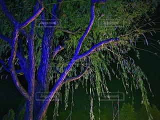 ライトアップされた柳の木の写真・画像素材[1380696]