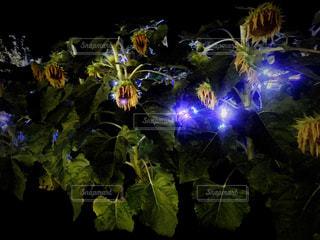 ライトアップされたヒマワリの写真・画像素材[1409222]