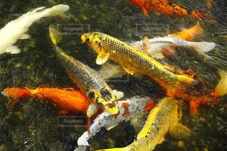 錦鯉の写真・画像素材[1501225]